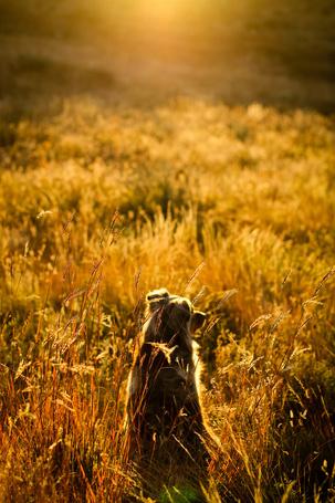 Фото Собака породы австралийская овчарка сидит в траве