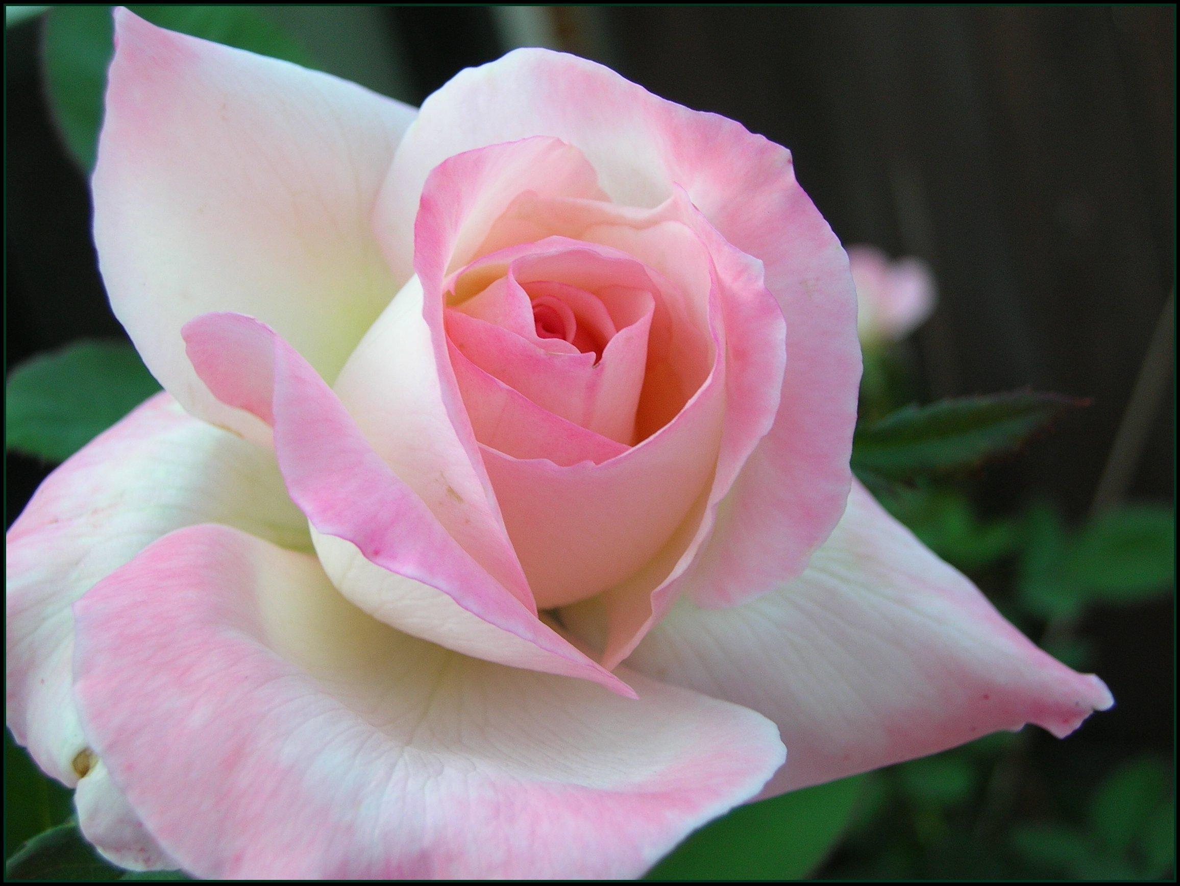 Фото Белая роза с розовыми краями лепестков на фоне зеленых листьев