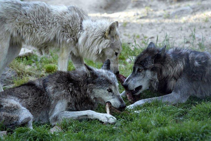 фото волчьей семьи пределами сцены