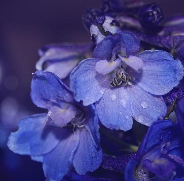 Светло-голубые цветы, фотограф Dipliner