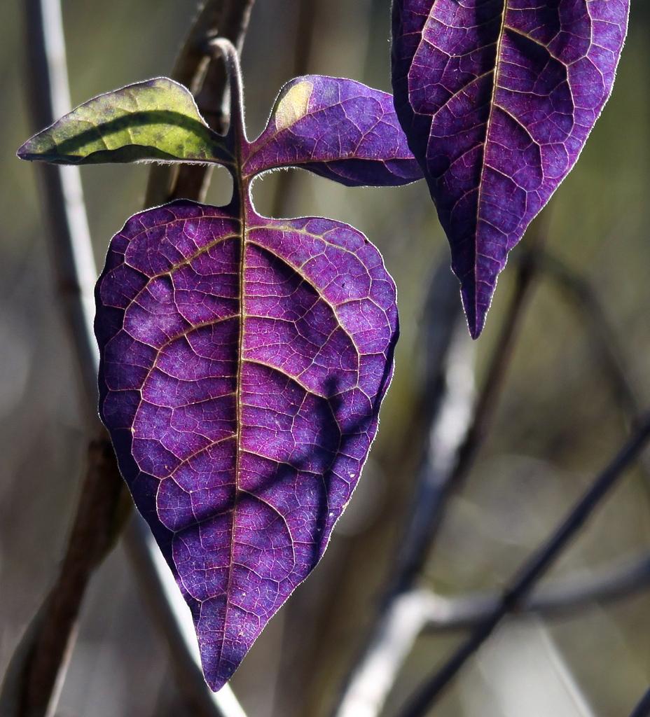 Картинки фиолетовые листья