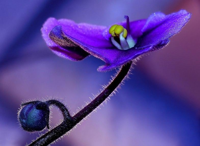 Сиреневый цветок с бутоном на темном стебле на ярком размытом бордово-сиреневом фоне
