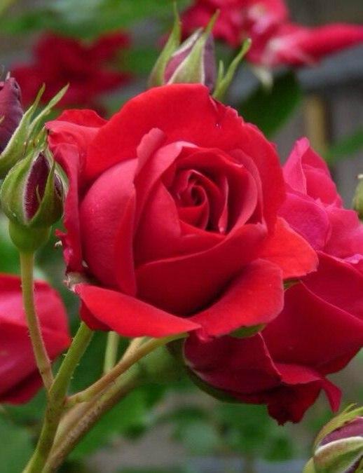 Фото Бутон красной розы на ветке, рядом уже раскрывшиеся и еще нераскрывшиеся бутоны