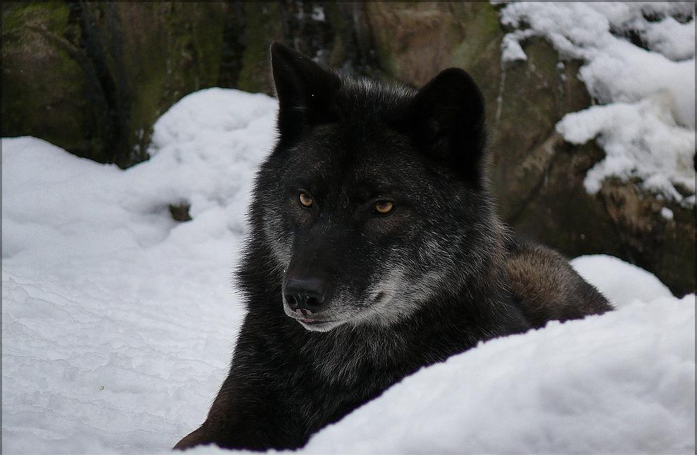 была смотреть фотографии черного волка поделки хендмейд