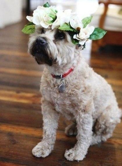 Фото Собака сидит на полу и смотрит вверх, на голове у нее венок из цветов с листьями