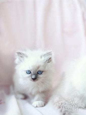 Фото Пушистый котенок с голубыми глазами