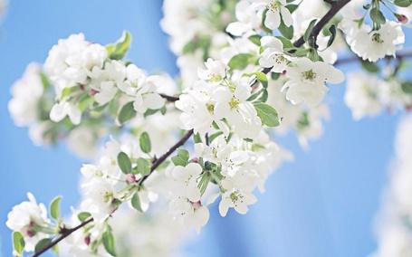 Фото Ветка дерева, на которой растут белые цветы и зеленые листья. Фон голубой