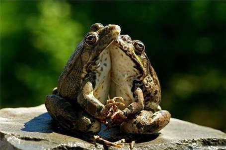 Фото Две лягушки сидят на камне в обнимку на размытом зеленом фоне