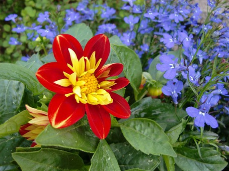 Фото Большой красный цветок с желтыми лепестками, расположенными внутри, в окружении зеленых листьев и мелких светло-сиреневых цветов