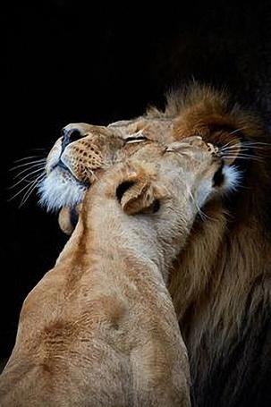 Фото Львица с любовью прильнула ко льву