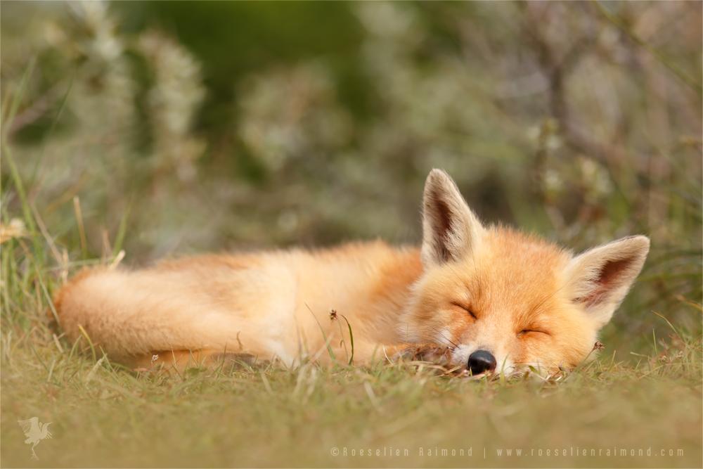 Фото спящих лисиц