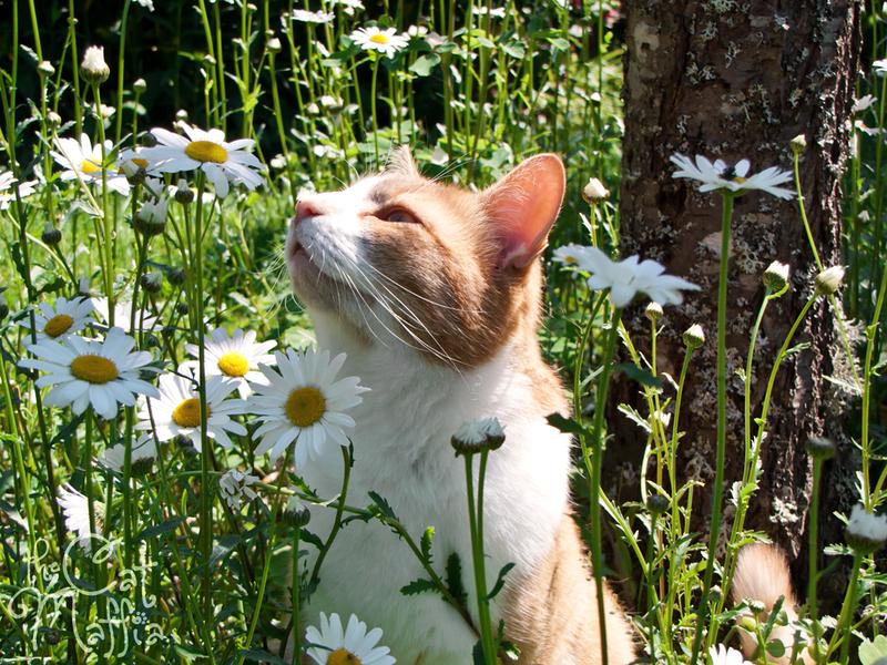 Кот и ромашка картинки, смешные