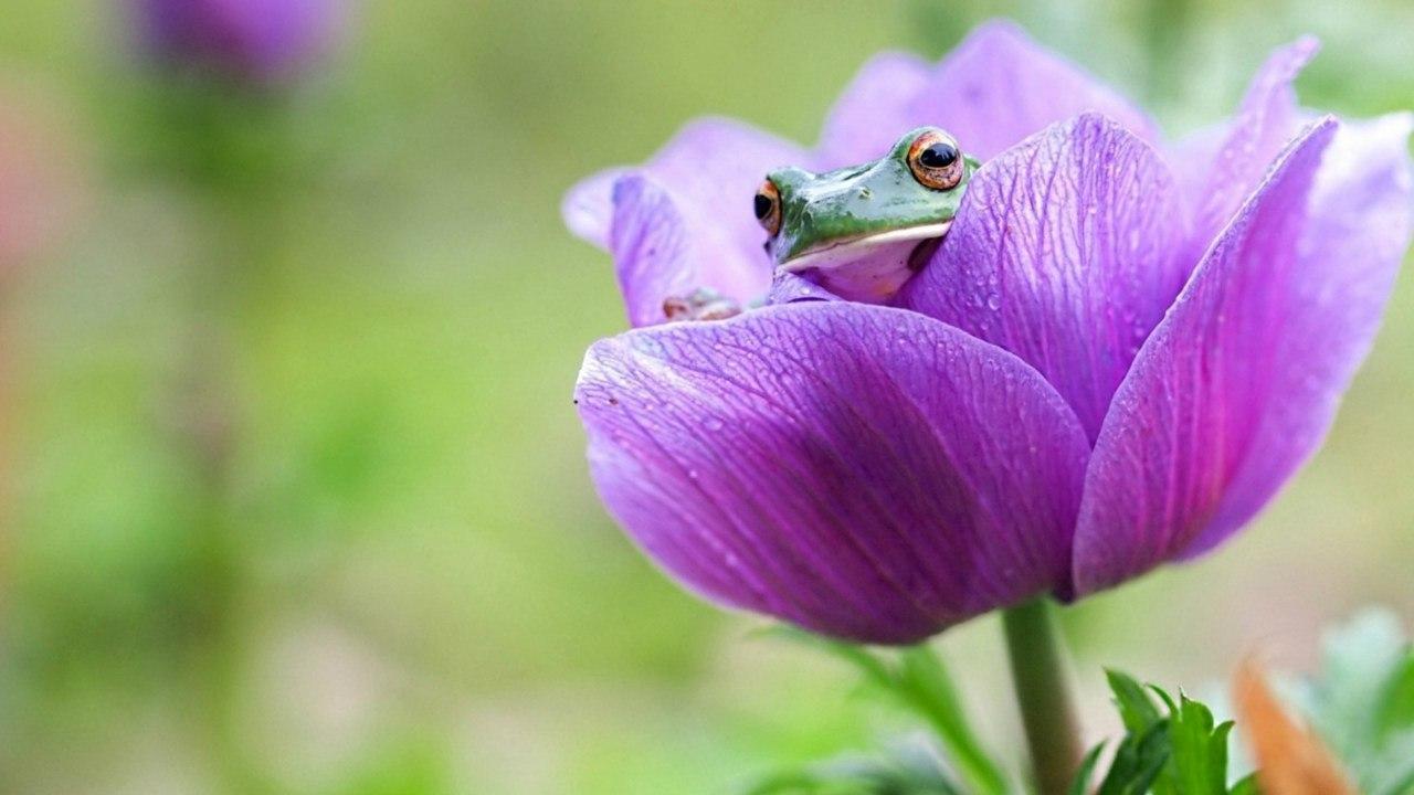 В сиреневом тюльпане сидит лягушонок на зеленом размытом фоне