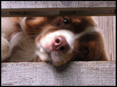 Фото Собака смотрит сквозь доски (© Solist), добавлено: 02.05.2015 14:19