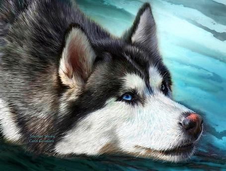 Фото Собака хаски с синими глазами положила голову на поверхность, фотохудожница Кэрол Каваларис