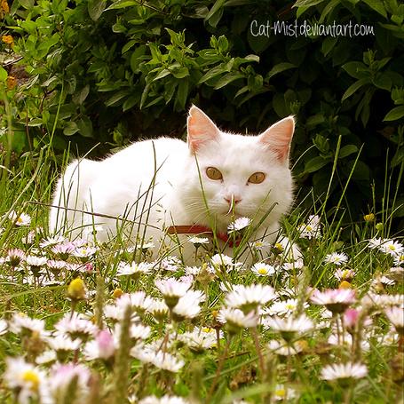 Фото Белый кот на поляне с цветами, by Cat-Mist