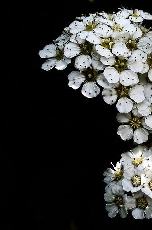 Фото Веточка белых красивых цветов на черном фоне, Фотограф Hope Carter