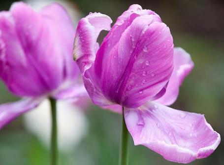 Фото два розовых тюльпана с