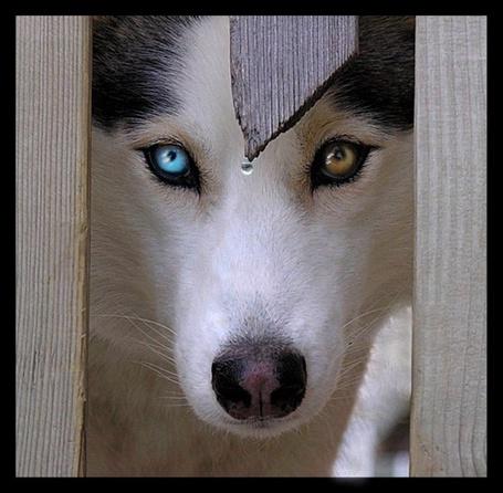 Фото Хаски с разноцветными глазами