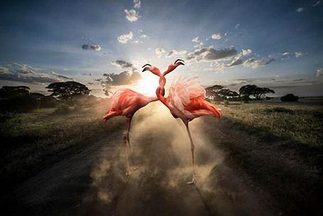 Фото Красные фламинго сплелись шеями, стоя на дороге, фотограф Томас Сабтил