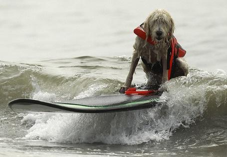 Фото Мокрый пес в спасательном жилете, скользит по воде на доске для серфинга