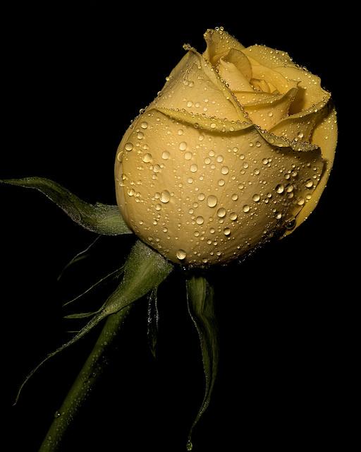 Фото Желтый бутон розы в каплях росы
