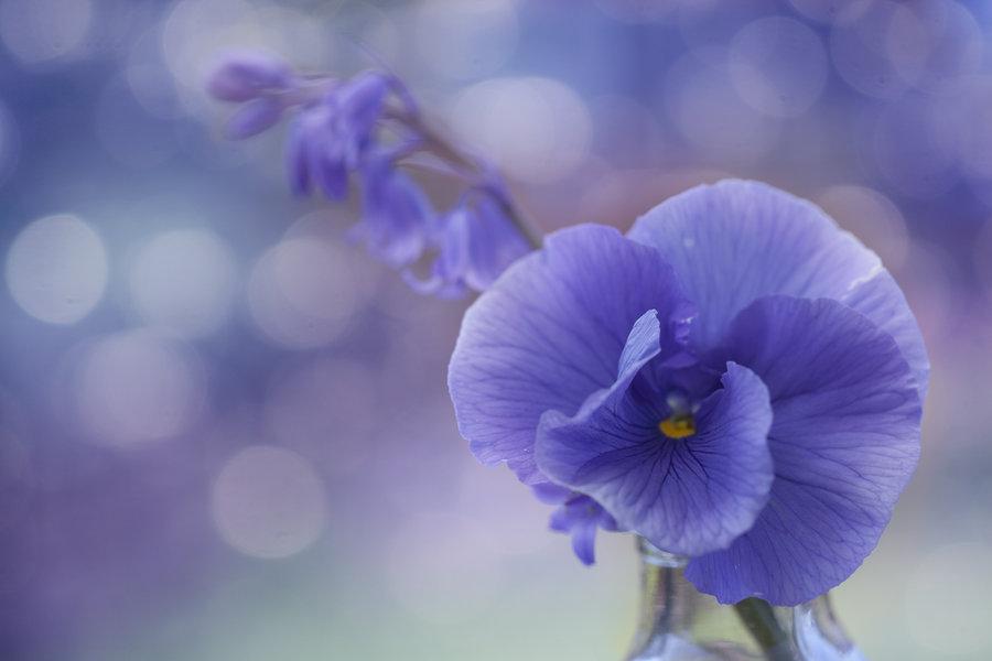 Цветок фиалки на размытом фоне, by Sarahharas1