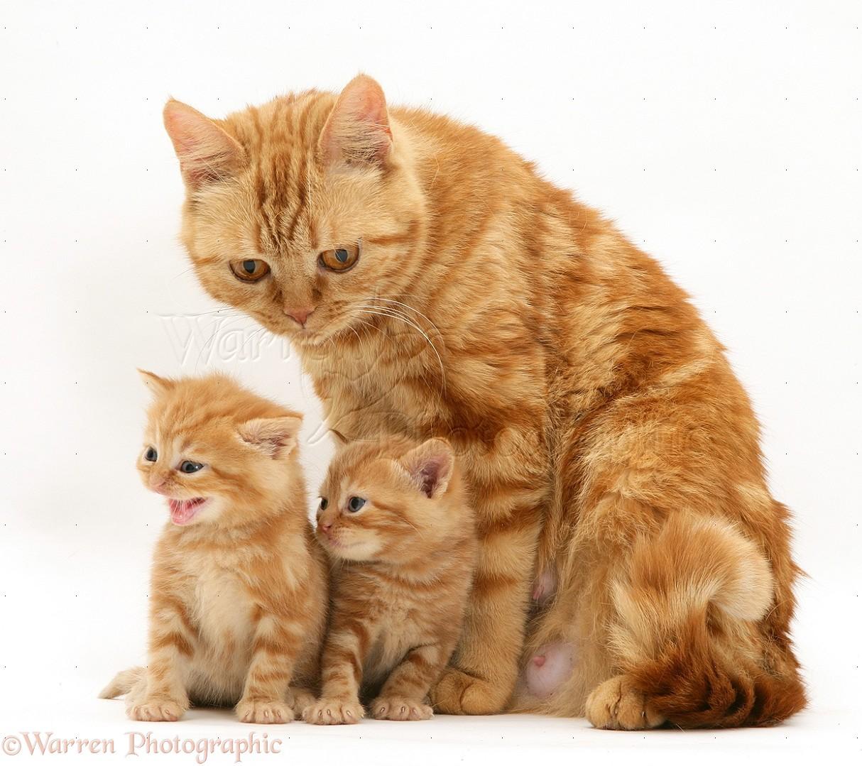 Фото Рыжая кошка с котятами