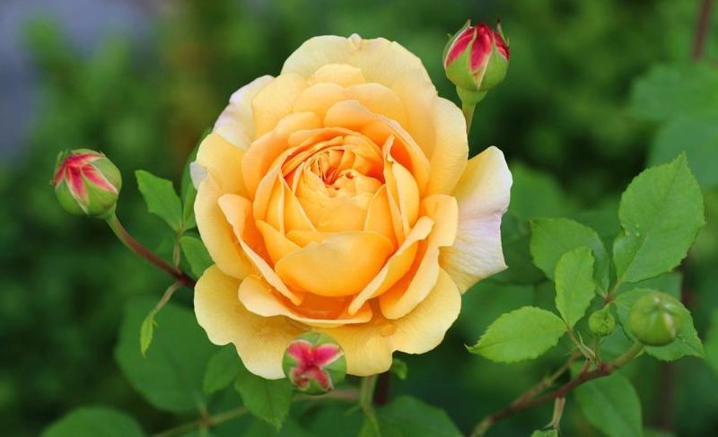 Фото Желтая роза с бутонами на ветке с зелеными листьями