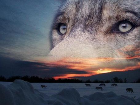 Фото Выразительный волчий взгляд на фоне уходящей стаи