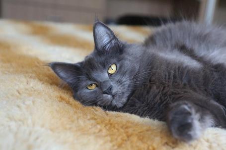 Фото Кот лежит на меховом пледе