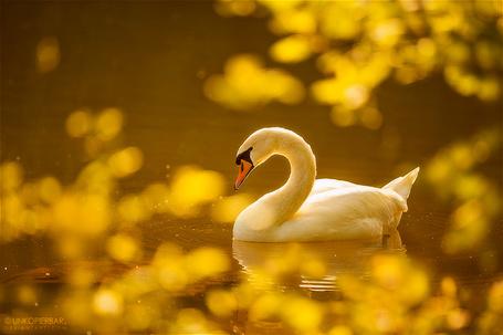 Фото Лебедь плавает в пруду