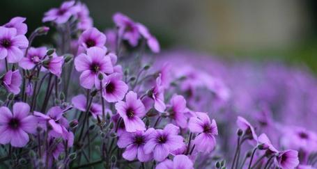 Фото Много небольших сиреневых цветов на размытом фоне