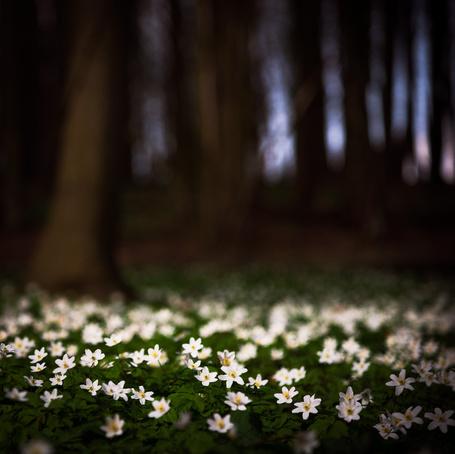 Фото Поляна белых цветов в лесу, by HeikoGerlicher