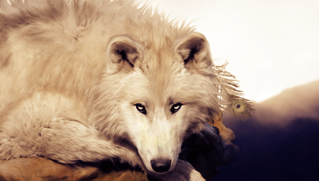 Фото Белый волк лежит с пером павлина в шерсти головы и смотрит белыми глазами