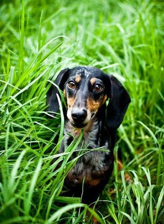 Фото Собака сидит в высокой, зеленой траве