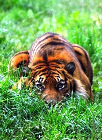 Фото Тигр лежит на зеленой траве