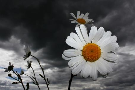 Фото Ромашки на фоне мрачного неба