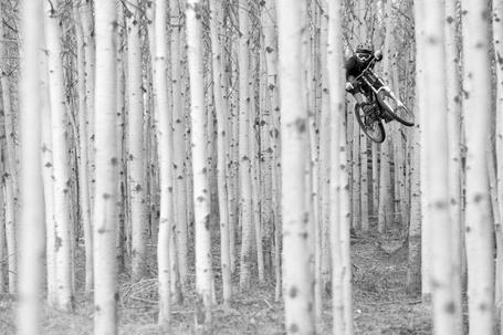 Фото Велосипедист барражирует среди стройных берез