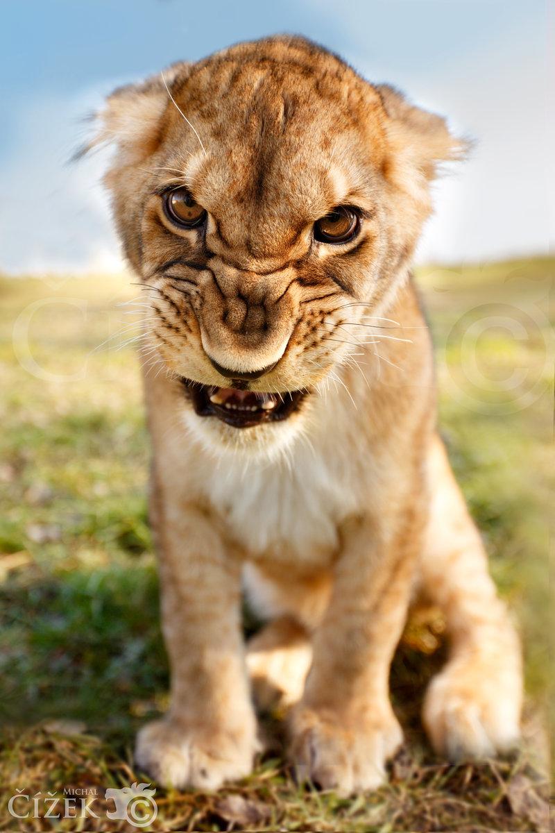 Пожеланиями, картинки прикольных львят
