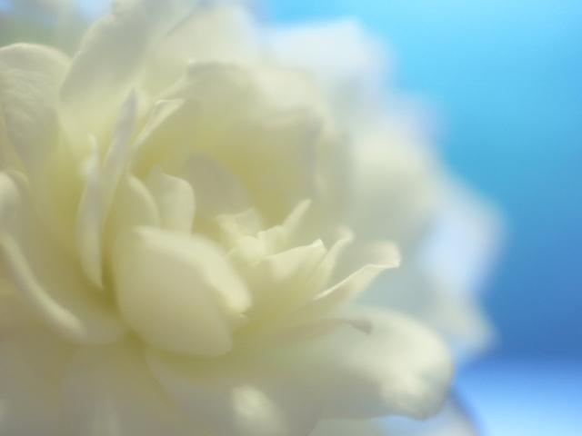 Фото Белая роза на голубом фоне