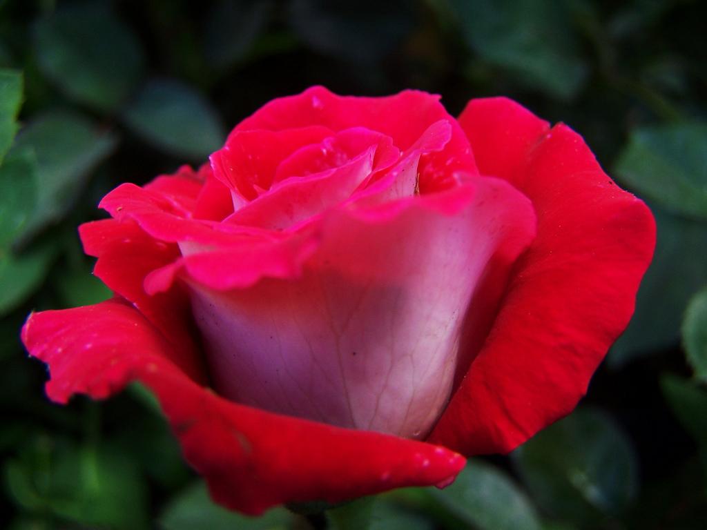 Фото Красная роза на фоне листьев