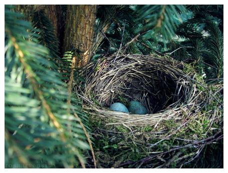 Фото Гнездо с яйцами, by rosaarvensis