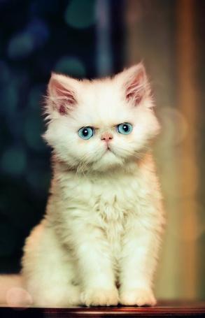Фото Персидский котенок с серьезным выражением на мордочке