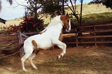 Фото Красивая пятнистая лошадь в загоне, by LyraWhite