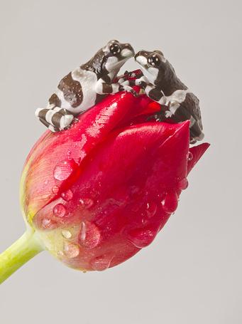 Фото Влюбленные лягушки на тюльпане