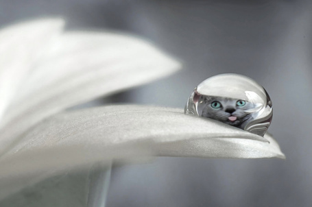 Фото Капля воды на белом цветке с отражением в ней мордочки серого кота с высунутым языком, by Photo Fairy