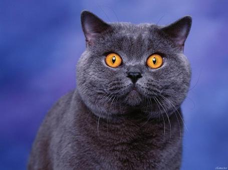 Фото Удивленный взгляд оранжевых глаз британца