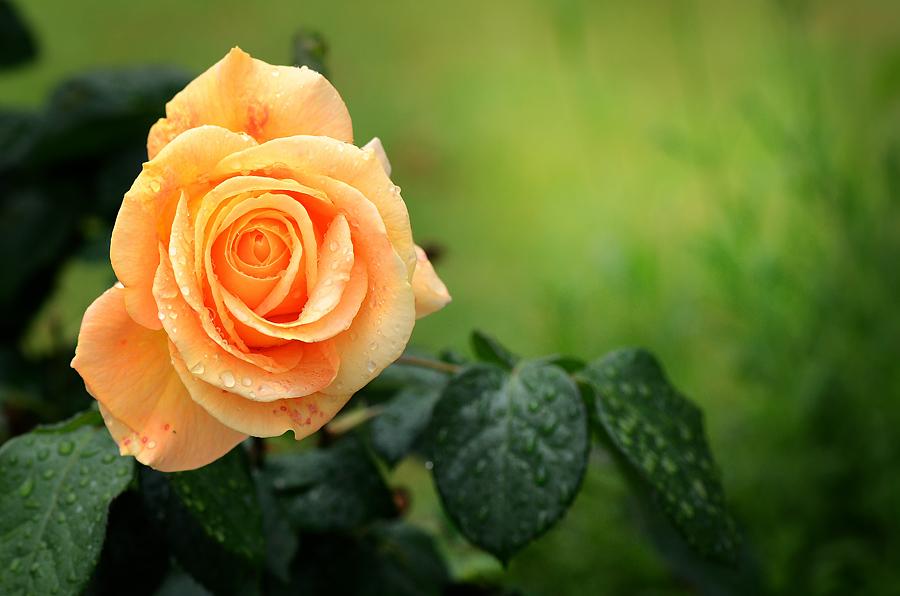 Фото Желтая роза в каплях росы, фотограф Saranikolai