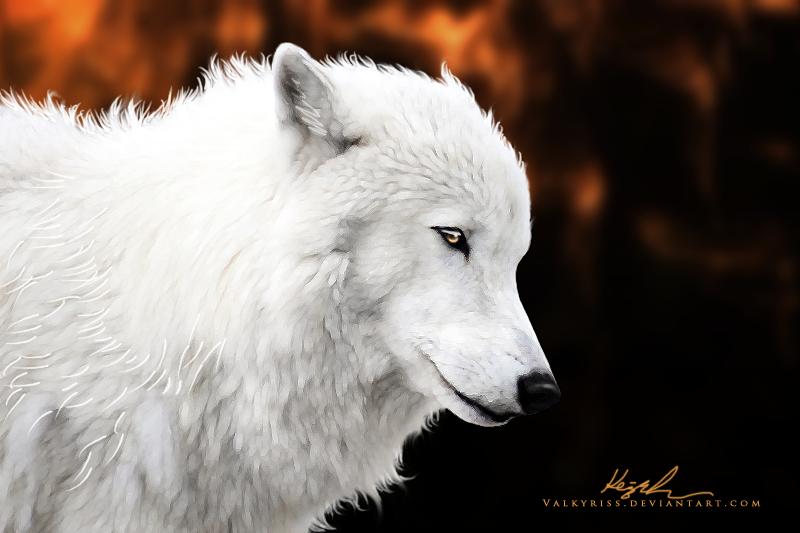 Фото Белый волк на темном фоне